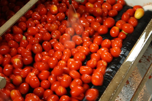 Fresh tomatoes being washed on a conveyor belt